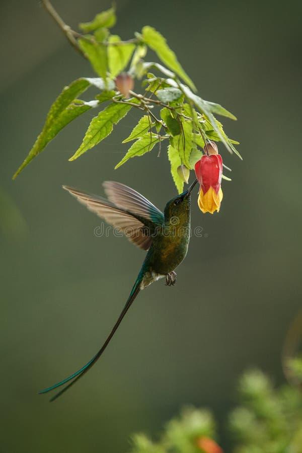 Sylph Violeta-atado que howering ao lado da flor amarela e alaranjada, colibri com asas estendidos, colibri de Col?mbia que suga  fotografia de stock royalty free