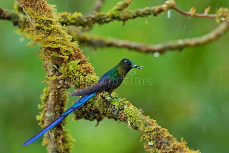sylphe Long-coupé la queue, colibri avec la longue queue bleue dans l'habitat de nature, Pérou photographie stock libre de droits
