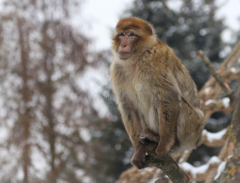 Sylvanus de Macaca de macaque de Barbarie, également connu sous le nom de singe de Barbarie ou magot photographie stock libre de droits