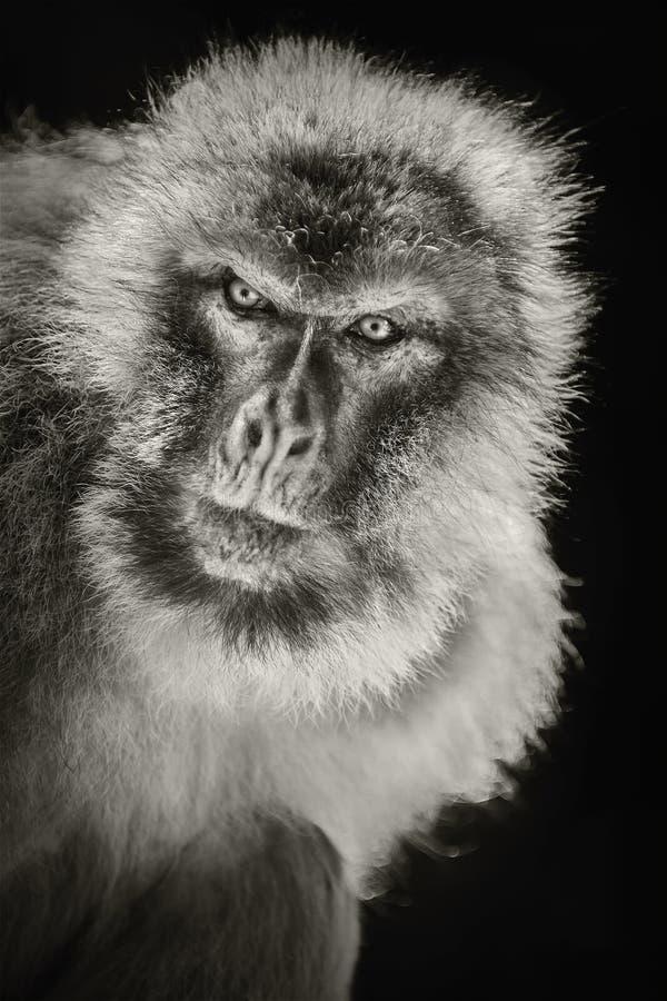 Sylvanus de Macaca de macaque de Barbarie photographie stock