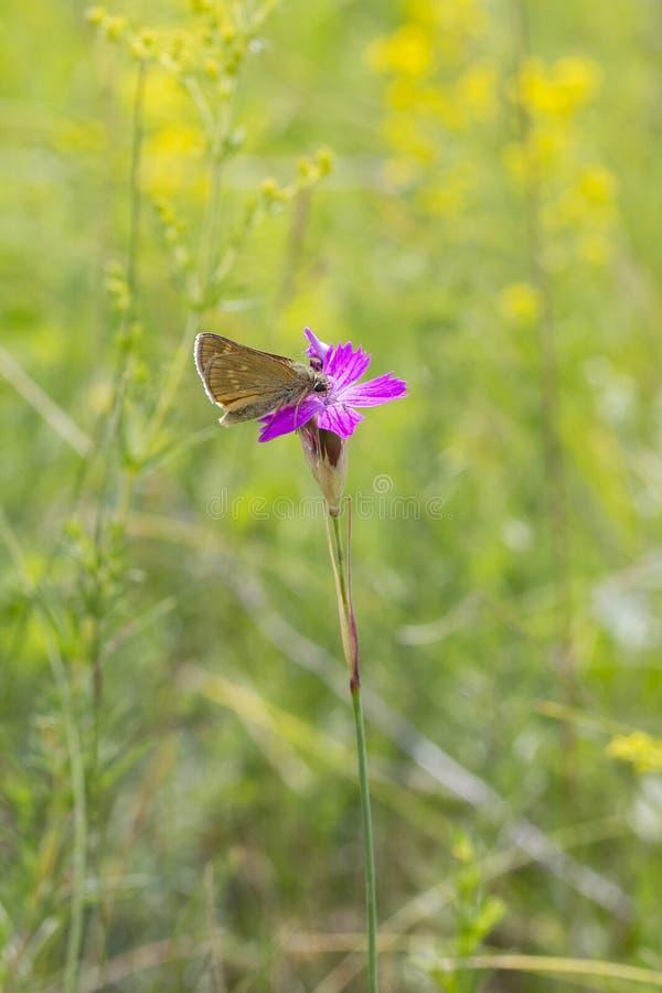Sylvanus de Ochlodes de la mariposa en una flor de los deltoides salvajes del clavel del clavel, vertical de la lila de la fauna fotografía de archivo libre de regalías
