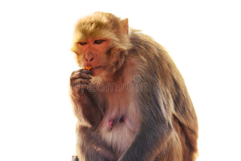 sylvanus del Macaca del macaque fotografía de archivo libre de regalías