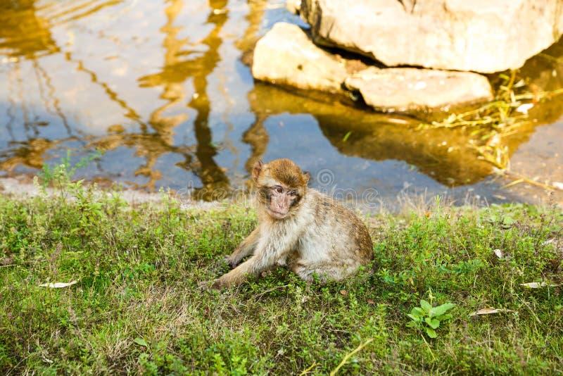Sylvanus för Barbary macaqueMacaca royaltyfria bilder