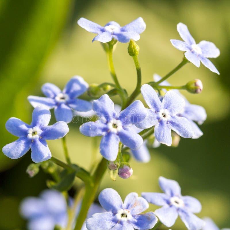 Sylvatica azul apacible del Myosotis de la nomeolvides de las flores en fondo natural verde imagenes de archivo