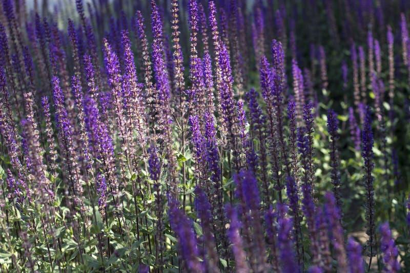 Sylvestris 'Mainacht 'Sommer-blühende Salbei-Gamander-'Mai-Nacht'Salvia x, das in einer krautartigen Grenze in einem Land-Häusche lizenzfreie stockfotos