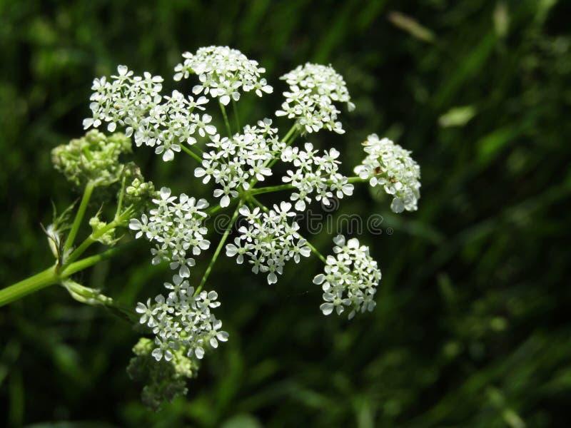 Sylvestris d'anthriscus de fleurs images stock