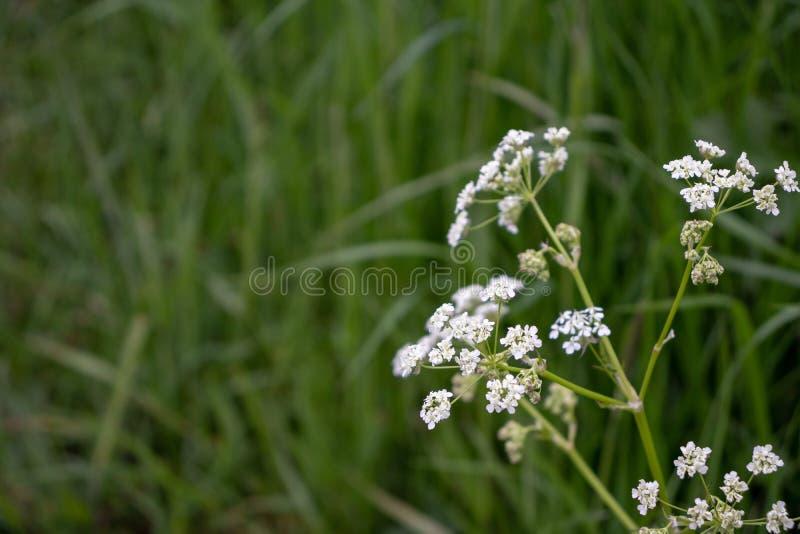 Sylvestris d'Anthriscus, fleurs d'épice de vache photo stock