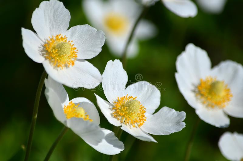 Sylvestris da anêmona - flores brancas da mola imagens de stock