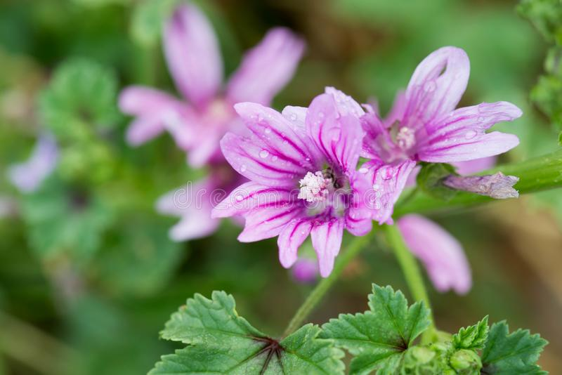 Sylvestris de Malva, fleurs de mauve commune images libres de droits
