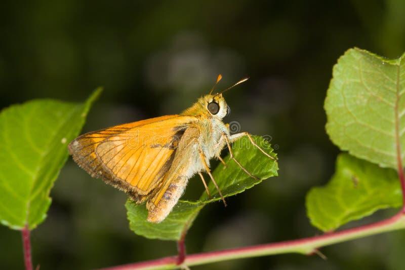 Sylvestris de Thymelicus/borboleta pequena do capitão fotos de stock