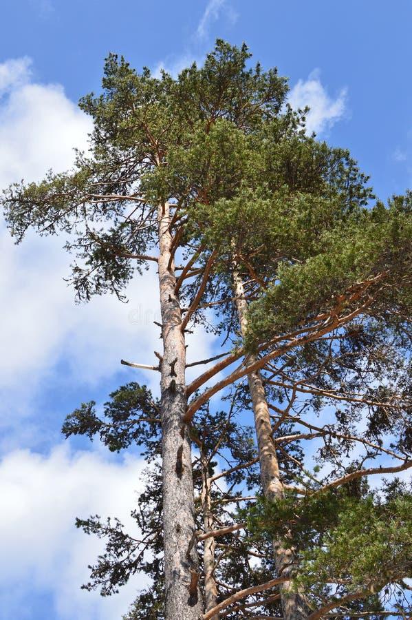 Sylvestris Pinus - Scots сосны стоковая фотография