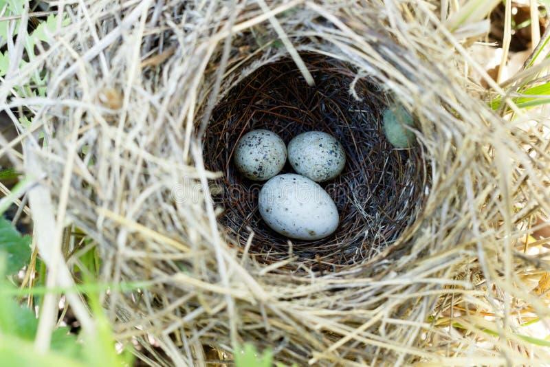 Sylvia communis Il nido del Whitethroat in natura C comune immagini stock libere da diritti