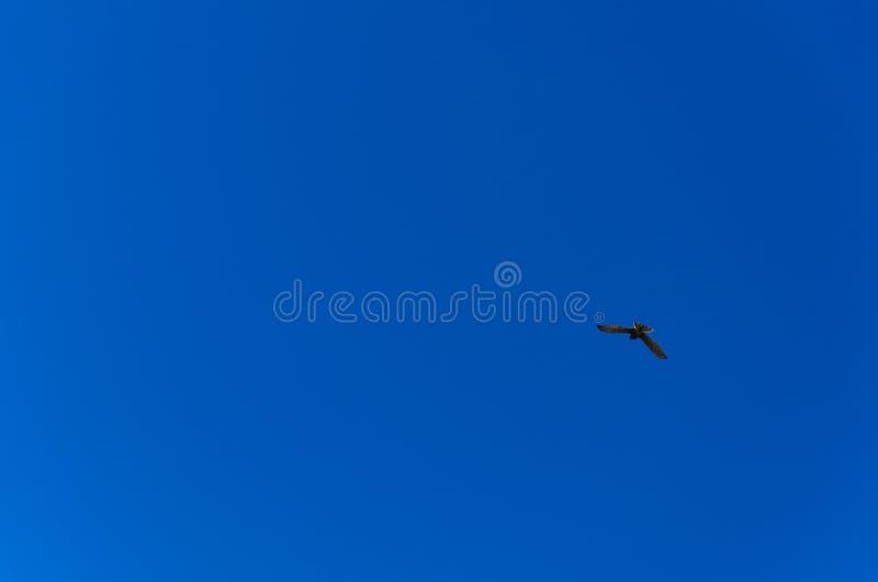 Sylwetka łowiecki kestrel lub falco tinnunculus fotografia stock