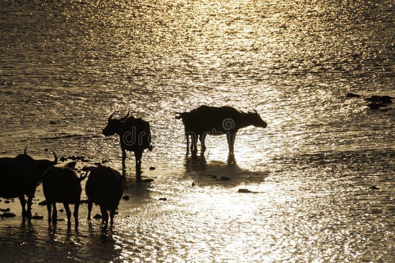 Sylwetka bizon na zmierzchu obraz stock