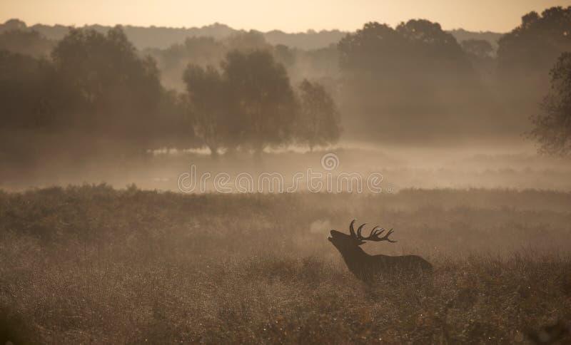 Sylwetka czerwonego rogacza jeleń zdjęcie stock