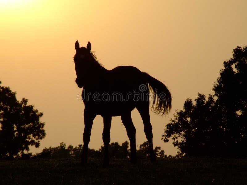 sylwetka końska obrazy stock