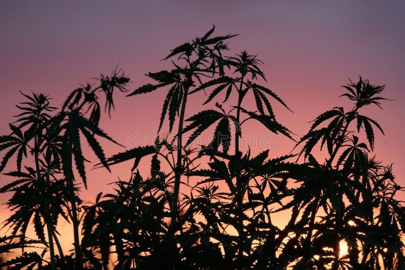 Sylwetka marihuana krzaki przeciw tłu zmierzch lub świt Dzikie rośliny konopiana rodzina fotografia royalty free