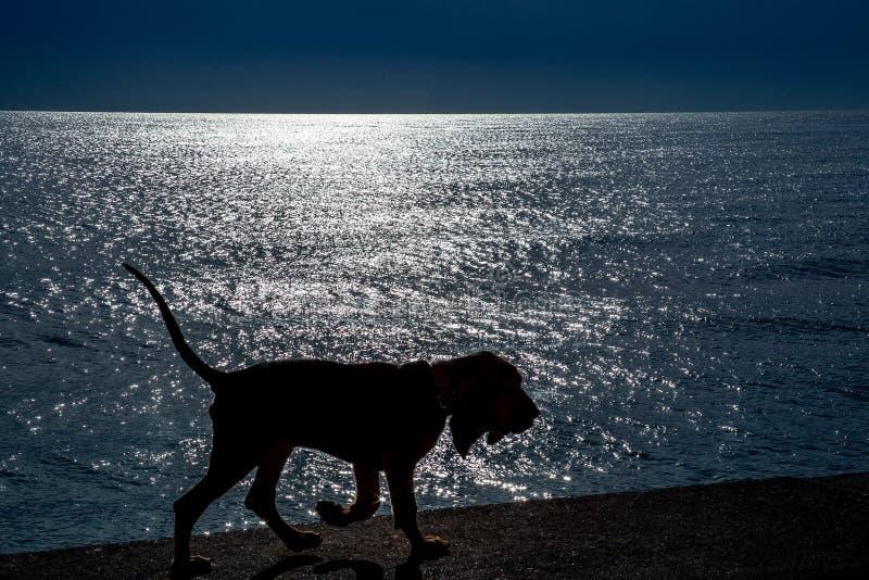 Sylwetka piękny Bloodhound szczeniak przy 5 miesiącami zdjęcie stock