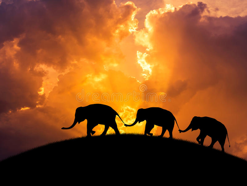 Sylwetka słoni związek z bagażnika chwyta rodzinnym ogonem chodzi wpólnie na zmierzchu fotografia royalty free