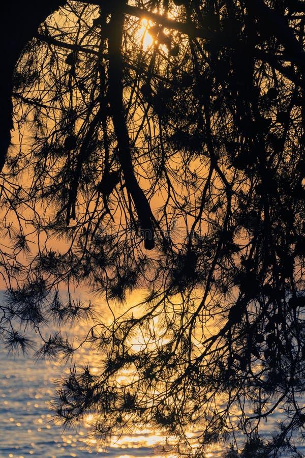 Sylwetka sosny gałąź ustawia nad morzem w złotym nieba tle słońce i zdjęcie royalty free