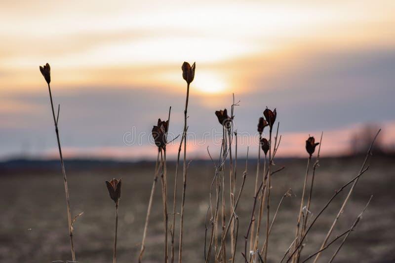 Sylwetka sucha trawa w zmierzchu świetle suszone kwiatki fotografia stock