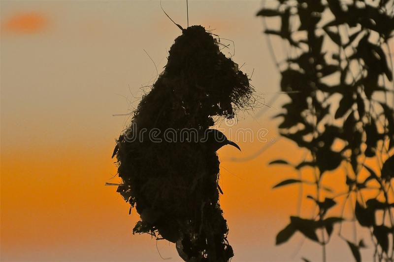Sylwetka sunbird obraz stock
