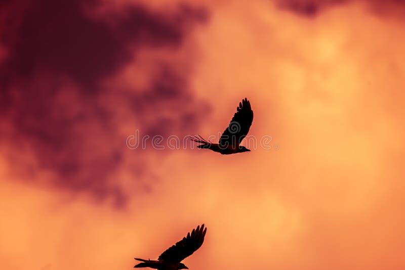 Sylwetka trzy wrona przy zmierzchu słońca wzrosta ptakiem na drucianych ptakach zdjęcie royalty free