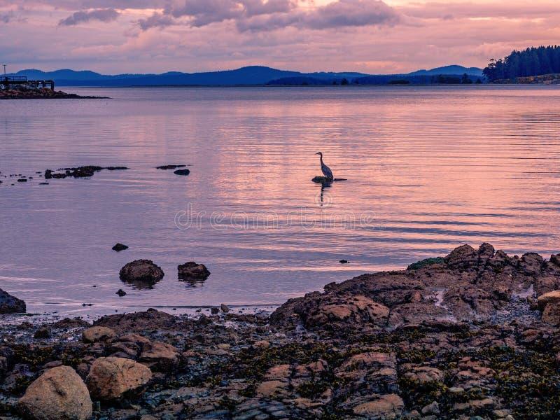 Sylwetka Wielkiego błękita czapli połów przy zmierzchu czasem fotografia stock