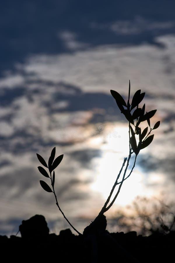 Sylwetkowy Sapling przy półmrokiem z chmurami obraz royalty free