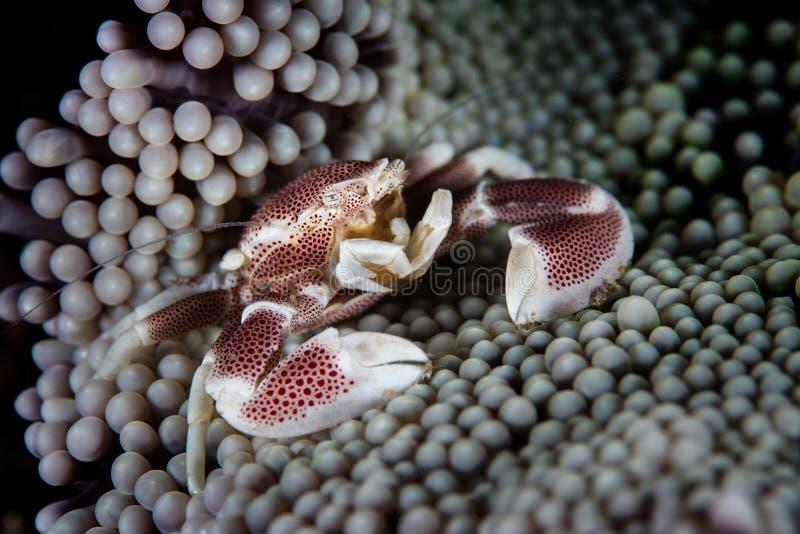 Symbiotische Porseleinkrab en Anemoon stock foto's