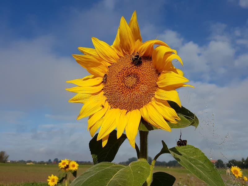 Symbiotische verhouding: Zonnebloem met bijen tegen hemel royalty-vrije stock afbeelding