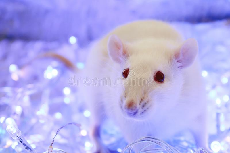 White rat. Symbol of chinese new year 2020. Christmas  rat on blue background with garland. Symbol of chinese new year 2020. Christmas rat on blue background royalty free stock image