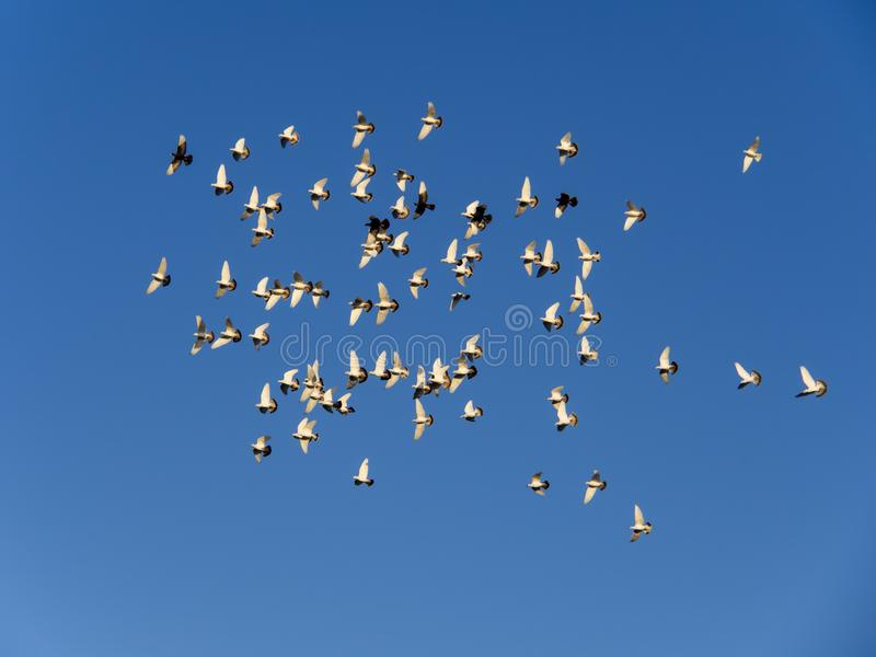 Summer day white dove group flying royalty free stock photos