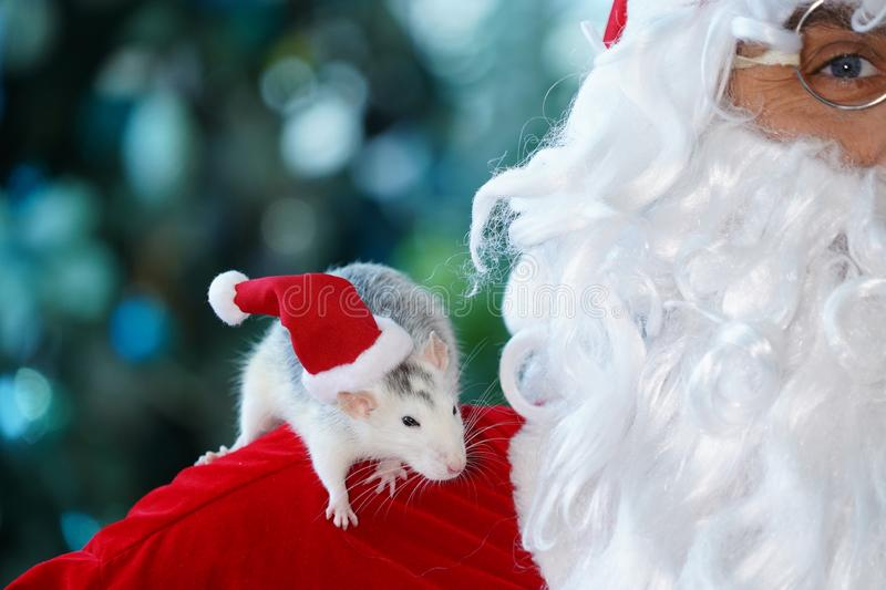 The symbol of 2020 is a rat on the shoulder of Santa Claus. stock photos