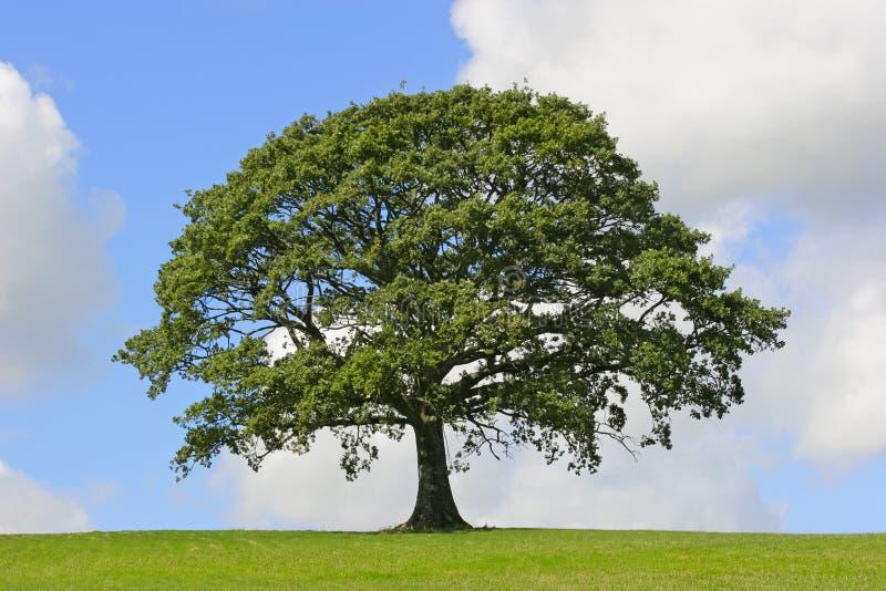 symbol siły oak tree obrazy stock
