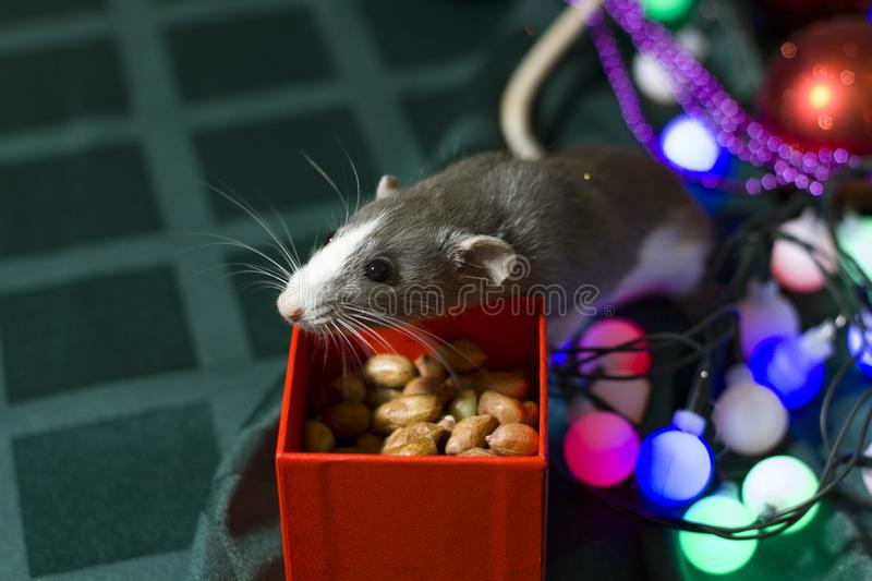 Symbol of the year. Gray mouse sits on a background of Christmas decorations boxes with gifts.Happy New Year 2020 royalty free stock photo