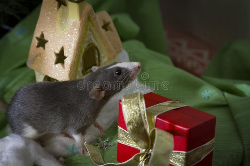 Symbol of the year. Gray mouse sits on a background of Christmas decorations boxes with gifts.Happy New Year 2020 royalty free stock image