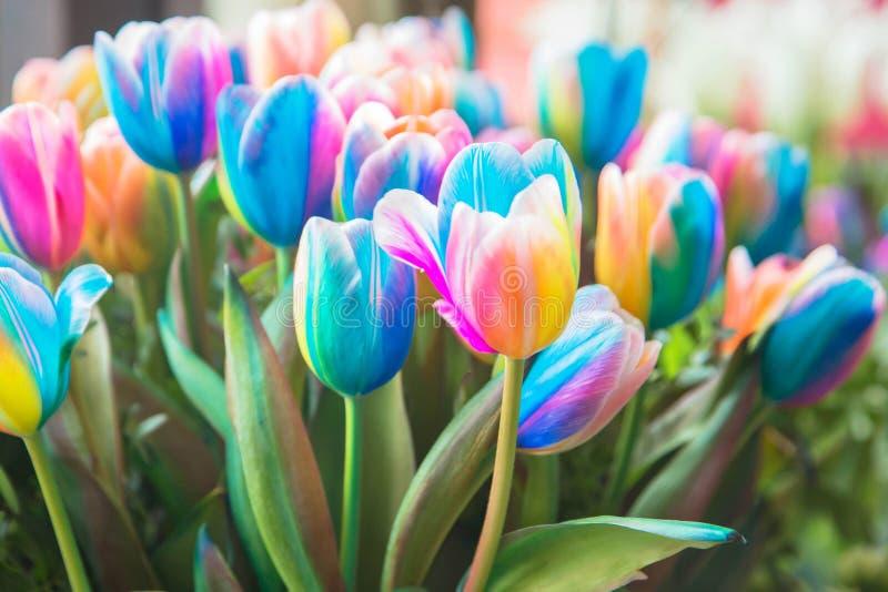 Symbole néerlandais de tulipe et d'arc-en-ciel de fierté photographie stock