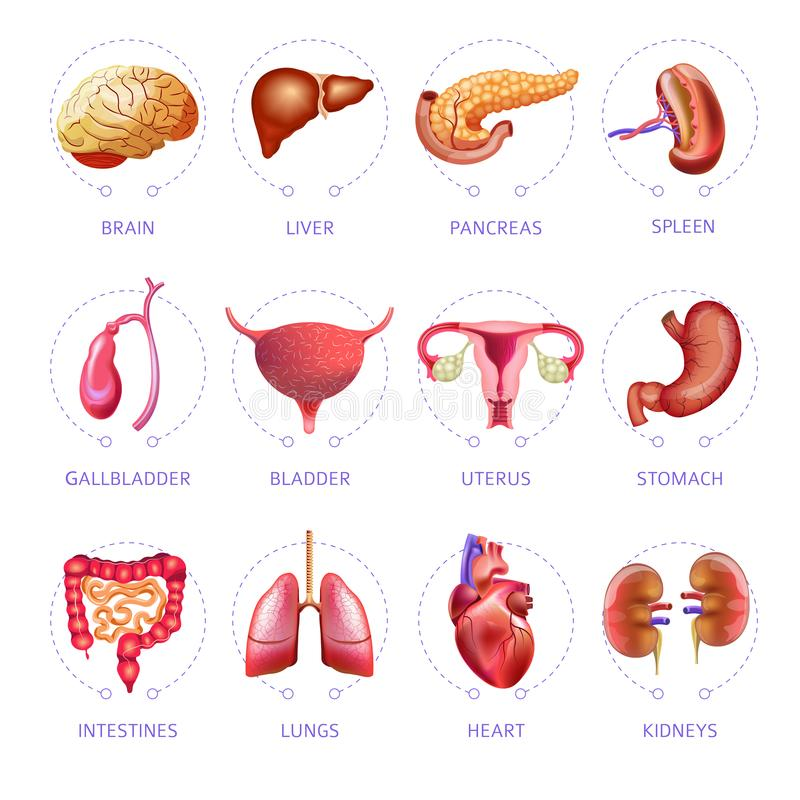 Symboler in för anatomi för vektor för inre organ för människokropp ställde den medicinska lägenheten isolerade stock illustrationer