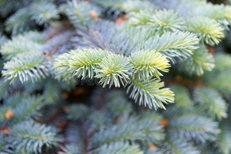 Symbolizować nieśmiertelność i wiecznie życie Świerczyny lub conifer roślina Świerkowa jodła lub igły na zamazanym naturalnym tle obrazy stock