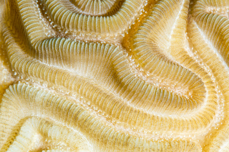 Symmetrical brain coral close-up royalty free stock photography
