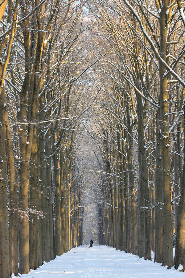 Symmetrical winter lane. Beautiful winter lane, with big trees on both sides of this symmetrical composition, with trees and pathway covered with fresh snow royalty free stock images