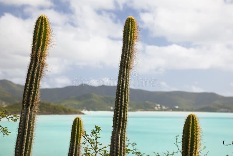 Symmetrische Cactussen in Antigua stock afbeelding