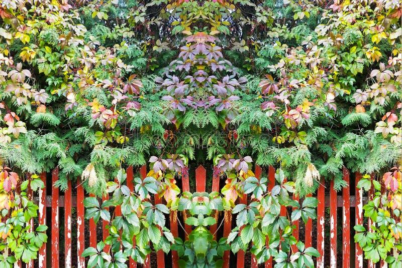 Symmetrisk bakgrund från de ljusa sidorna av lösa druvor eller murgrönaväxten på trästaketet i höst parkerar fotografering för bildbyråer