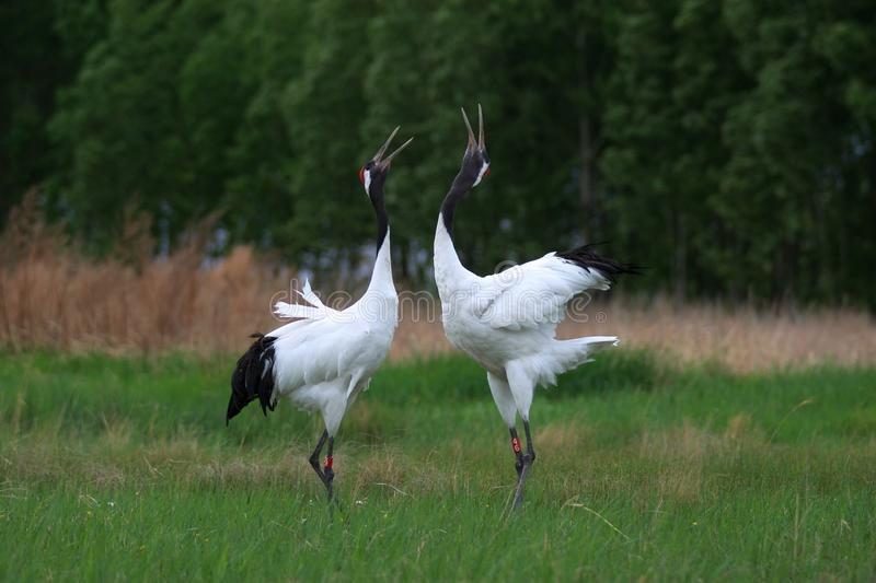 The symmetry of cranes song stock photo
