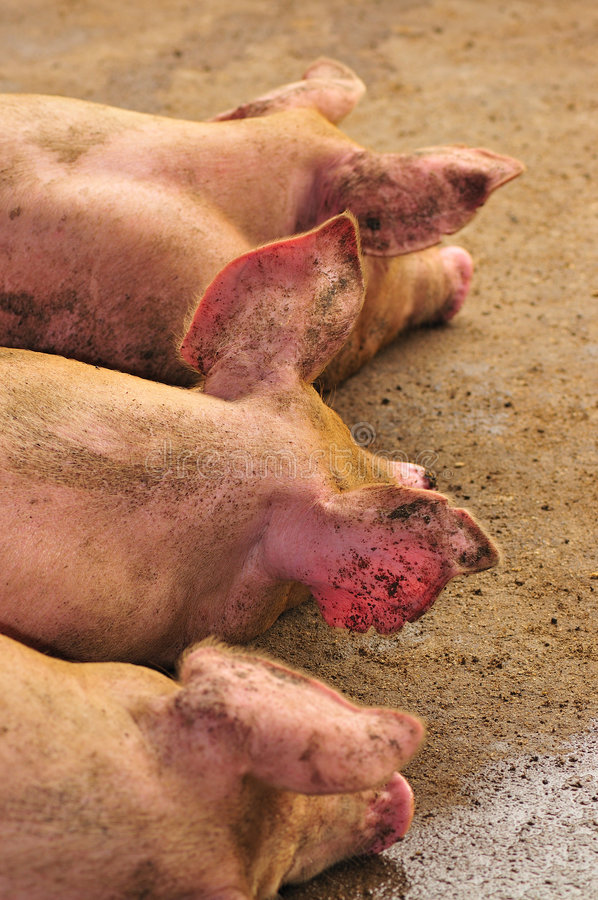 Download Symmetry in pigs stock image. Image of sleep, hogs, livestocks - 5076581