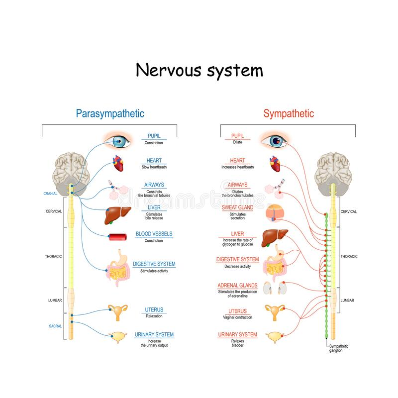 Sympathetic And Parasympathetic Nervous System. Difference. Diagram with connected inner organs and brain and spinal cord. Educational guide of human anatomy stock illustration