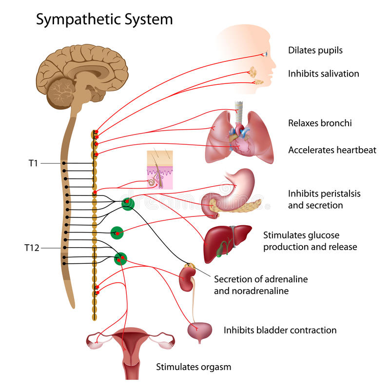 Sympathetic system vector illustration