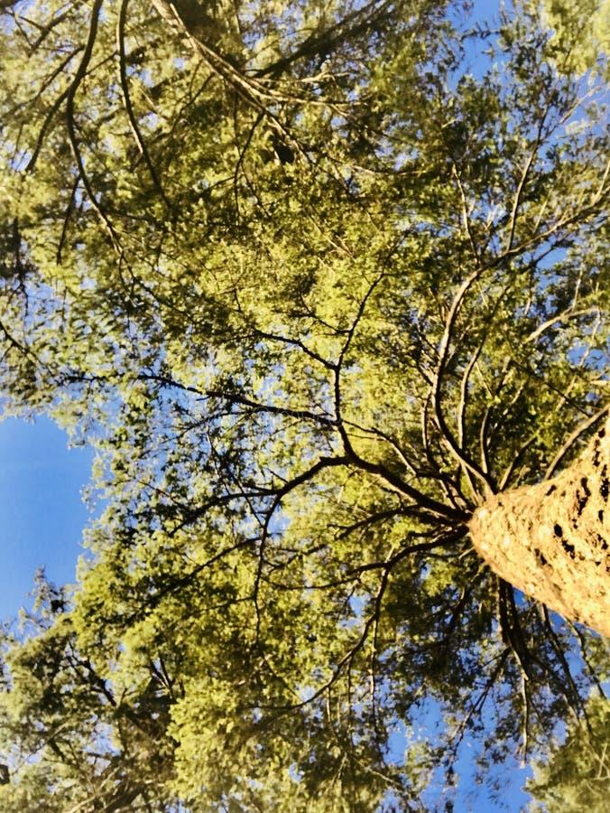 Sympatii drzewo zdjęcia royalty free