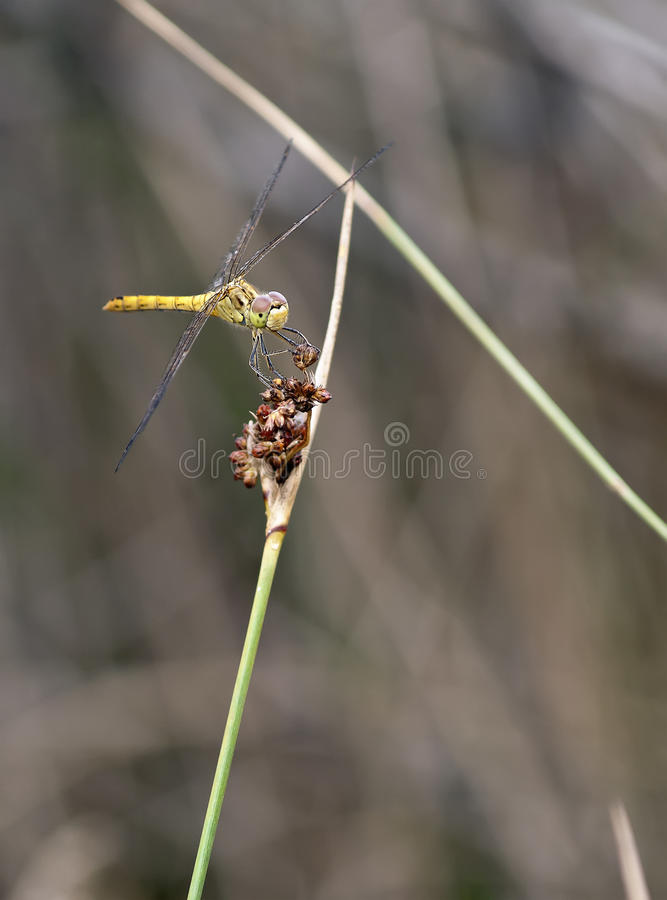 Sympetrum Meridionale - Southern Darter (male) Stock Photos